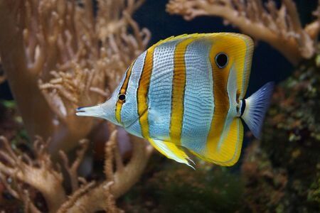 copperband butterflyfish: A Beautiful Copperband Butterflyfish - Chelmon rostratus