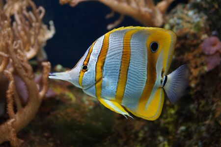 A Beautiful Copperband Butterflyfish - Chelmon rostratus photo