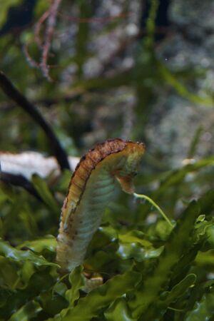 oceanic: A Yellow Oceanic Seahorse - Hippocampus kuda