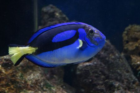 A Vibrant Regal Tang - Paracanthurus hepatus Stock Photo - 21250860
