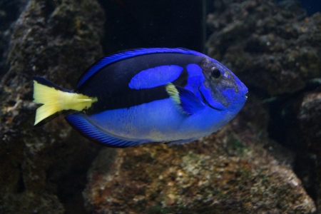 A Vibrant Regal Tang - Paracanthurus hepatus photo