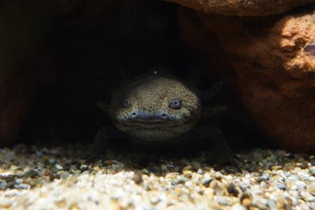 submerged: A Submerged Axolotl - Ambystoma mexicanum