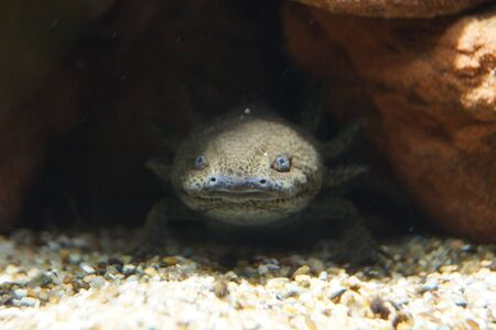 sumergido: A Axolotl Sumergido - Ambystoma mexicanum