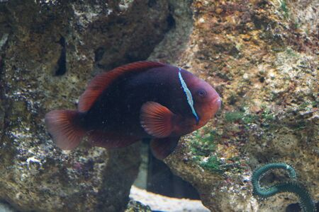 A Tomato Anemonefish - Amphiprion frenatus photo