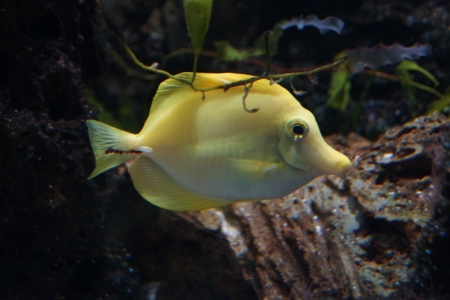 flavescens: A Beautiful Yellow Tang - Zebrasoma flavescens Stock Photo