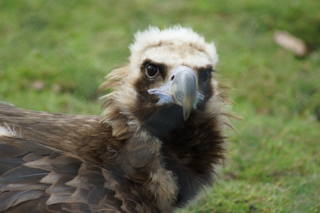 European Black Vulture Portrait - Aegypius monachus photo