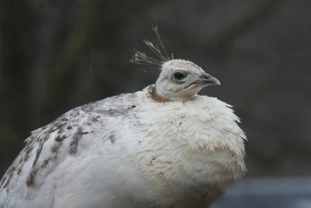 pavo: An Albino White Indian Peafowl - Pavo cristatus