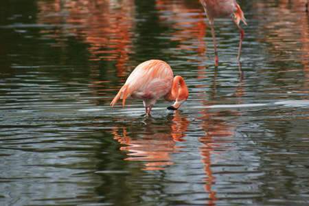 Flock of American Flamingo - Phoenicopterus ruber photo