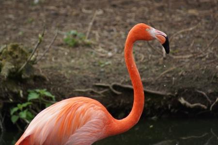 phoenicopterus: Flock of American Flamingo - Phoenicopterus ruber