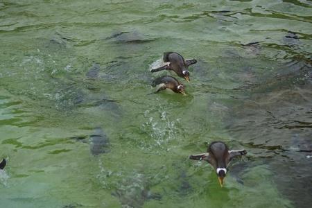 gentoo: Swimming Gentoo Penguins - Pygoscelis papua