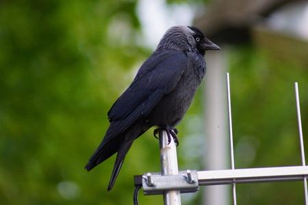 perching: A Perching Jackdaw - Corvus monedula