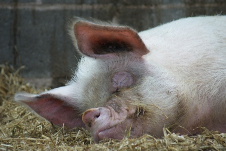 scrofa: A Middle White Sow - Domestic Pig - Sus scrofa domesticus