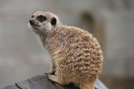 outpost: Images within a Meerkat Family - Suricata suricatta Stock Photo