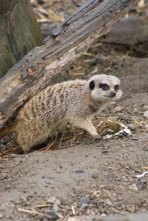 suricatta: Images within a Meerkat Family - Suricata suricatta Stock Photo
