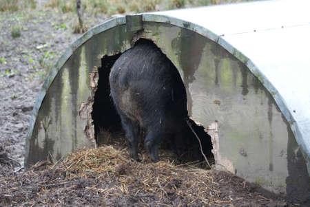 scrofa: A Wild Boar - Sus scrofa - Pig Sty Shelter