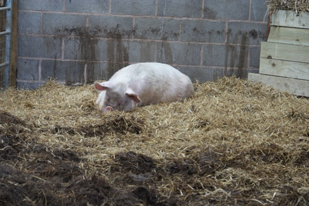 sow: A Middle White Sow - Domestic Pig - Sus scrofa domesticus