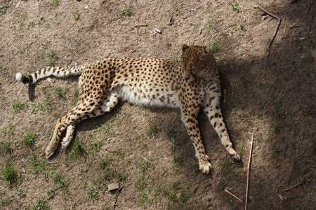 jubatus: Cheetah - Acinonyx jubatus - Resting