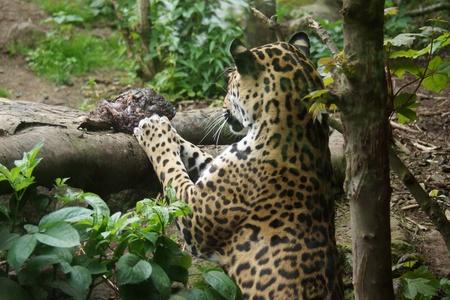 panthera onca: Jaguar - Panthera onca
