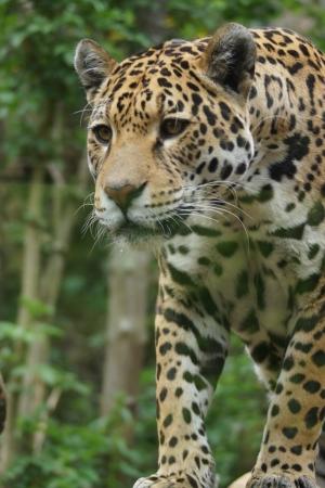 felid: A Large Jaguar - Panthera onca Stock Photo