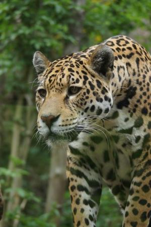 onca: A Large Jaguar - Panthera onca Stock Photo