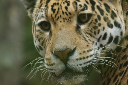carnivora: A Large Jaguar - Panthera onca Stock Photo