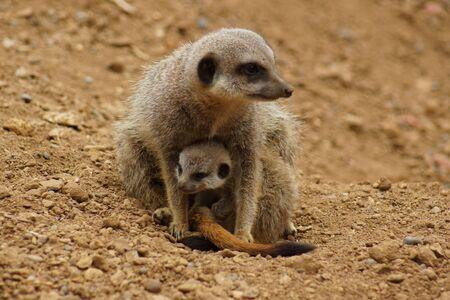 Inside a Meerkat Clan - Suricata suricatta Stock Photo