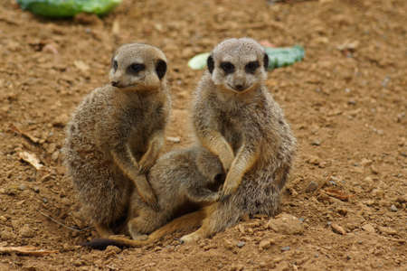 clan: Inside a Meerkat Clan - Suricata suricatta Stock Photo