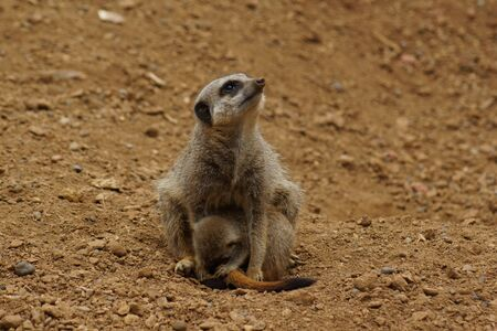 suricatta: Inside a Meerkat Clan - Suricata suricatta Stock Photo
