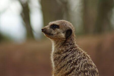 herpestidae: Inside a Meerkat Clan - Suricata suricatta Stock Photo