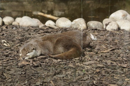 aonyx cinerea: A Family of Oriental small-clawed Otter - Aonyx cinerea