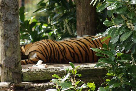 panthera tigris: Tigre de Sumatra - Panthera tigris sumatrae Foto de archivo