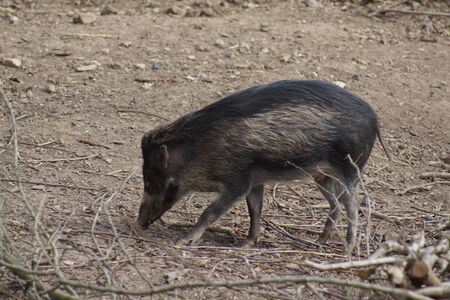 sus: A Snuffling Visayan Warty Pig - Sus cebifrons Stock Photo