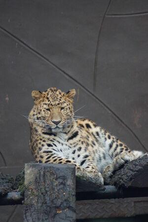 panthera pardus: A Large Amur Leopard - Panthera pardus orientalis