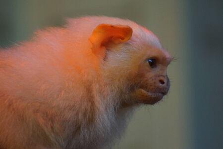 marmoset: A Small Silvery Marmoset - Mico argentus