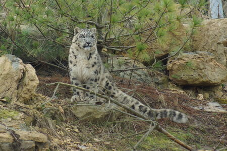 snow leopard: Wild Snow Leopard - Pantheria uncia Stock Photo