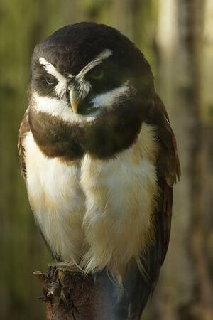 spectacled: A Wild Spectacled Owl - Pulsatrix perspicillata
