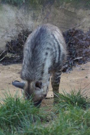 scavenge: A Wild Striped Hyena - Hyaena hyaena
