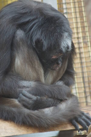 variegated: Large Variegated Spider Monkey - Ateles hybridus Stock Photo
