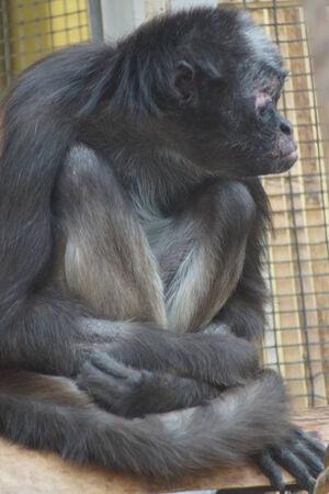 variegated: Large Variegated Spider Monkey - Ateles hybridus Stock Photo