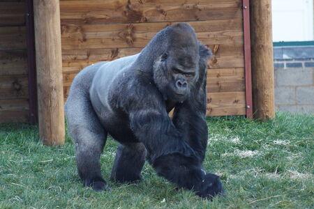 lowland: Large Western Lowland Gorilla - Gorilla gorilla gorilla Stock Photo