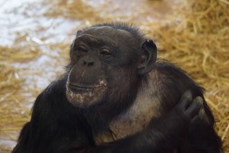 troglodytes: A Common Chimpanzee - Pan troglodytes Stock Photo