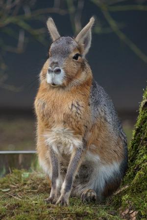 patagonian: Wild Patagonian Mara - Dolichotis patagonum
