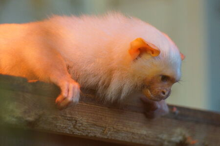 A Small Silvery Marmoset - Mico argentus