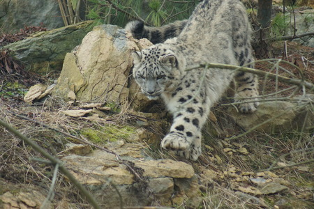 felid: Wild Snow Leopard - Pantheria uncia Stock Photo