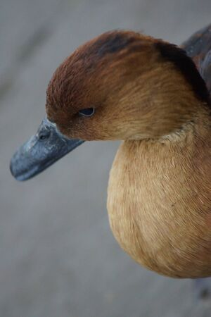 fulvous: A Fulvous Whistling Duck - Dendrocygna bicolor