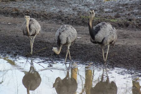 rhea: A wild flock of Greater Rhea - Rhea americana at the watering hole