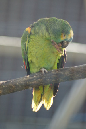 An Orange-winged Amazon Parrot - Amazona amazonica photo