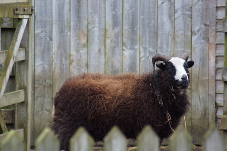 ovis: Images within the farm yard - Male Sheep (Ram) - Ovis aries