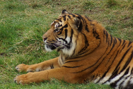 panthera tigris: Gran tigre de Sumatra - Panthera tigris sumatrae
