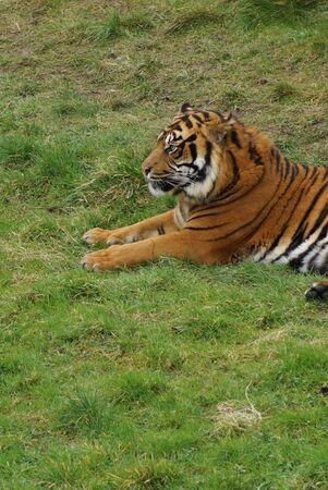 panthera tigris: Large Sumatran Tiger - Panthera tigris sumatrae Stock Photo